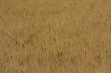 黄金色を帯び始めた麦の穂