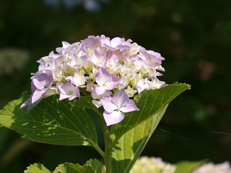 梅雨の晴れ間の自然環境体験公園に咲くアジサイ