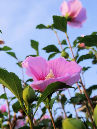 濃いピンク色の木槿