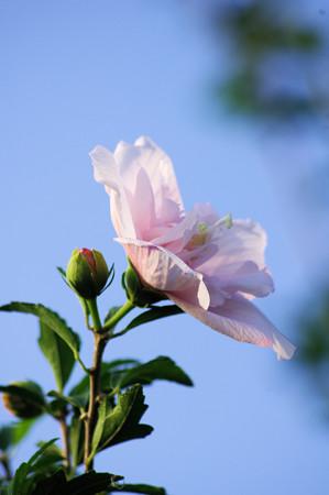 淡いピンク色の木槿