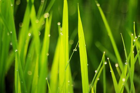 朝日を浴びる稲のしずく
