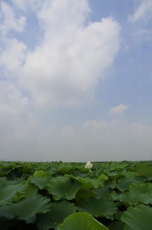 真夏の蓮根畑