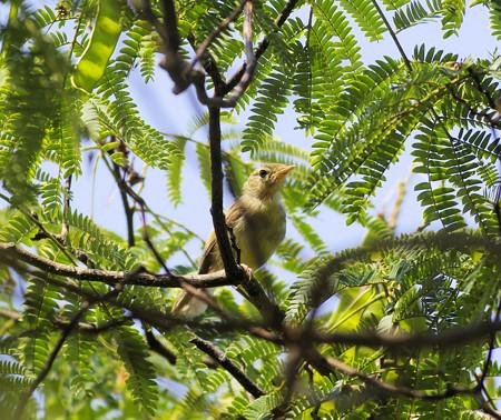 カワラヒワの若鳥(自然環境体験公園)