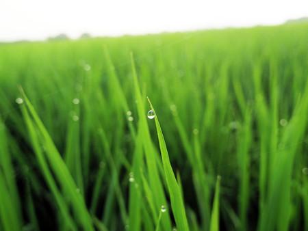 稲の葉の朝露