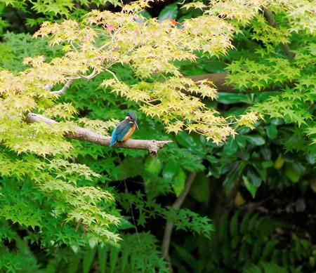 九月の岡山後楽園のカワセミ