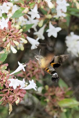 アベリアに吸蜜するホシホウジャク