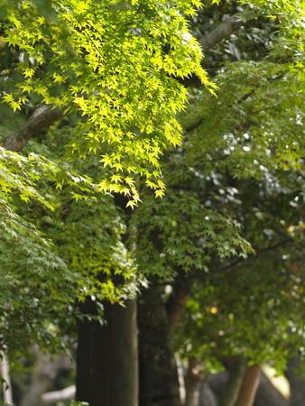 岡山後楽園の緑色の紅葉