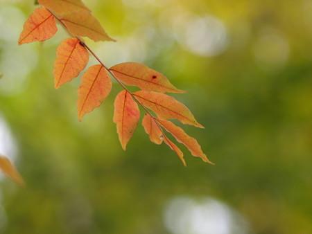 岡山後楽園の楷の紅葉