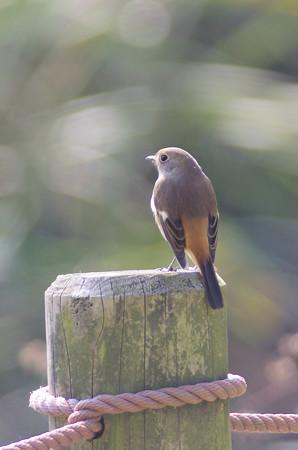 自然環境体験公園のジョウビタキ♂