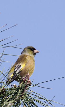 自然環境体験公園のカワラヒワ