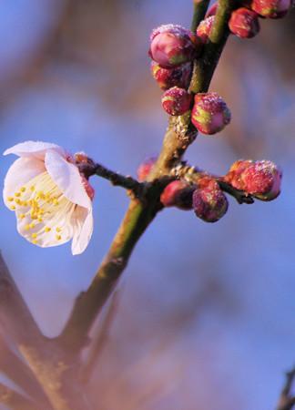 霜深い立春の朝の梅