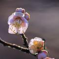 写真: 霜深い立春の朝の梅