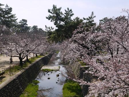 夙川桜 (2)