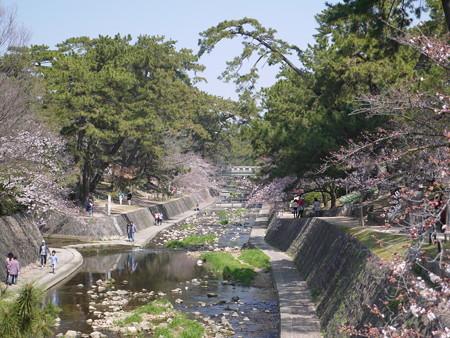 夙川桜 (4)