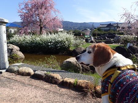 桜綺麗だね~
