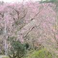 Photos: 枝垂れ桜があるこの公園に落としたみたい