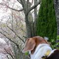 染井吉野は散ったけど、今度は八重桜だね~