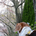 Photos: 染井吉野は散ったけど、今度は八重桜だね~