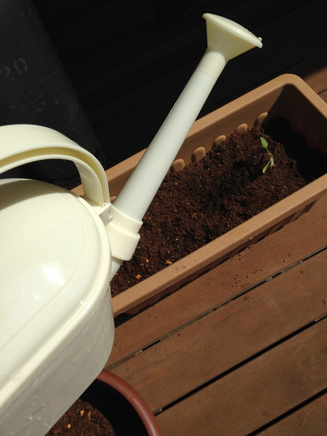 さて、お水を与えて終了!あんまり水を与え過ぎはダメみたいです(私が過去の植物を枯らしたのはこれが原因みたい…汗)