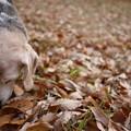 もう一つの理由ってのはでちゅね、こうして落ち葉の下に隠れてる宝物を探すことでちゅ(クンクン)