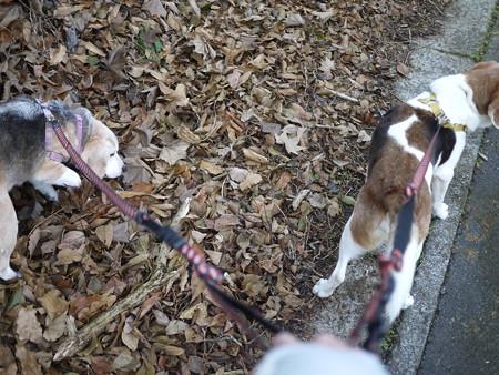 変わらずマリンはアスファルトを歩き、うみちゃんは落ち葉の上を歩くのが好き