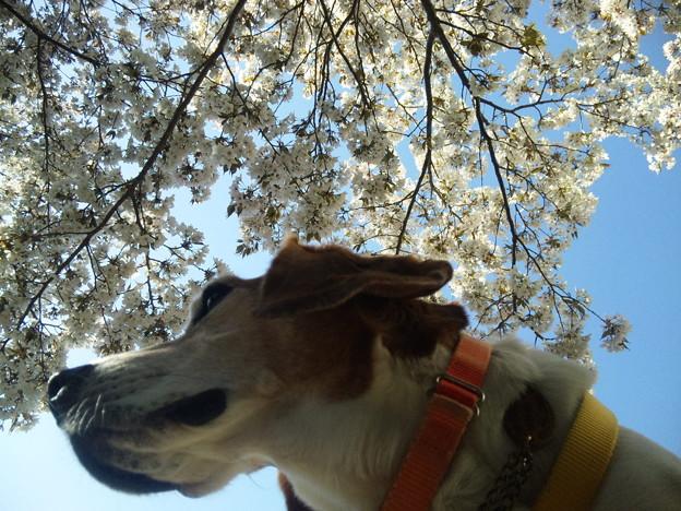 そっぽ向いたマリンと桜