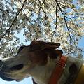 写真: そっぽ向いたマリンと桜