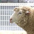 写真: 男前な羊