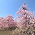 写真: しだれ梅~鈴鹿の森庭園