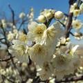 Photos: 西尾市一色町『みかわ三水亭』のお庭の白梅
