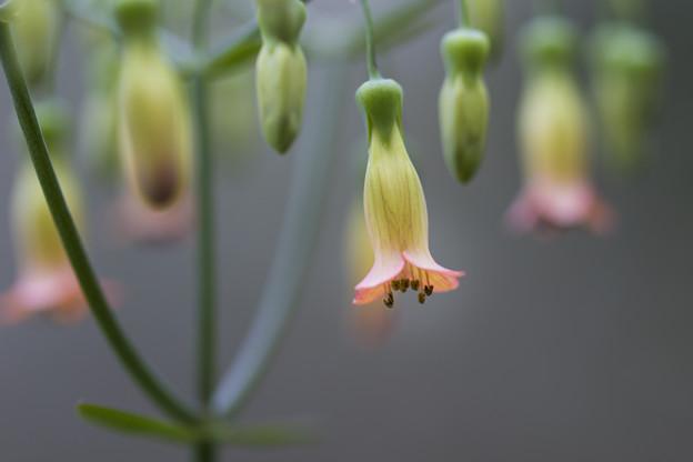 カランコエ属の一種