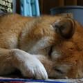 Photos: 寝る柴