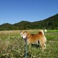 Photos: 散歩する柴