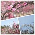 写真: 梅の季節