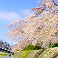 Photos: 鴨川と桜