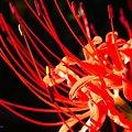 写真: 赤く輝くシベ