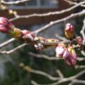 写真: 桜の蕾