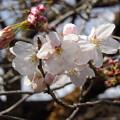 写真: 開花宣言