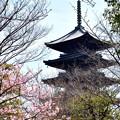 写真: 2017_0312_124427 桜開花