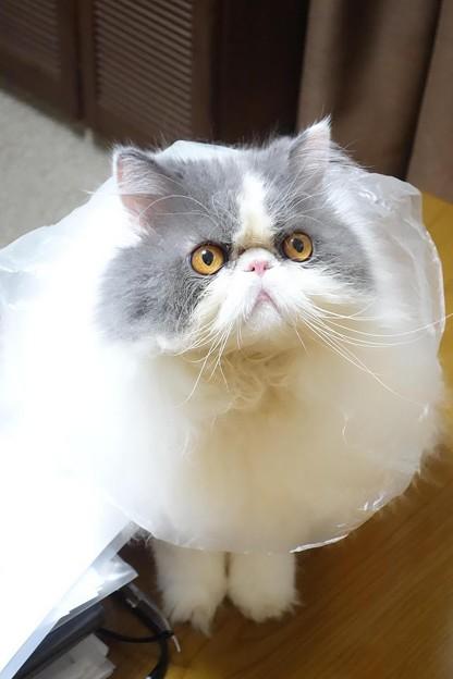 バレリーナ猫