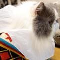 写真: PC前で頑張る猫 (4)