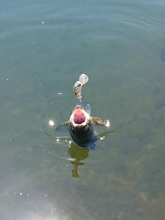 真夏の朝霞ガーデン1号池でマニアックス色のママバービー
