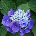 写真: 紫陽花(16*0616*3)