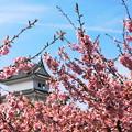 桜(宇都宮城址公園)