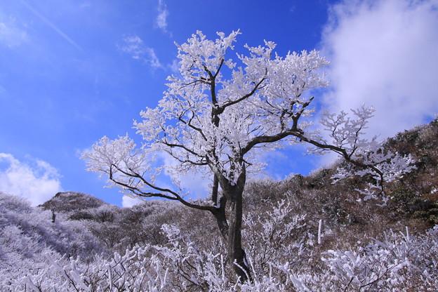 ☆霧氷樹?