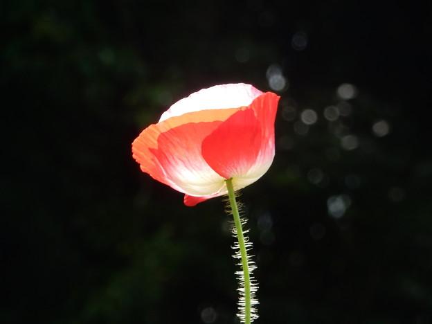 ヒナゲシの画像 p1_14