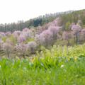 桜と若葉と
