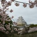 Photos: 桜と城