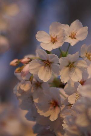 朝陽をあびる桜・その1
