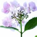 写真: ピートモス紫陽花